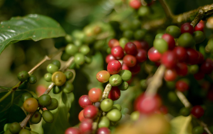Coffee fruit growing on plantation in Jinotega
