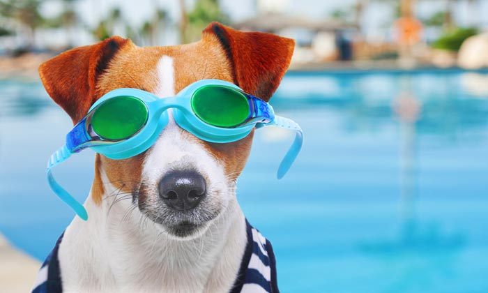 dog with swim goggles on by pool