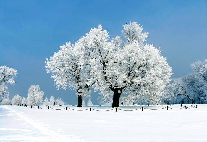 snowy field and snow covered trees
